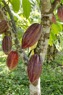 Belize, Punta Gorda, Agouti Cacao Farm by Danita Delimont