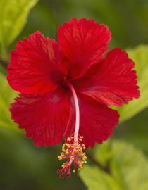 Red hibiscus, Hibiscus rosa-sinensis, Belize von Danita Delimont