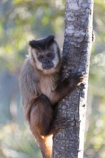 Brazil, Mato Grosso, The Pantanal, brown capuchin monkey, von Danita Delimont