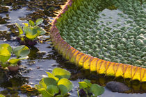 Brazil, Mato Grosso, The Pantanal, Porto Jofre, giant lily pad, by Danita Delimont