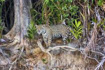 Brazil, Mato Grosso, The Pantanal, Rio Cuiaba, jaguar, by Danita Delimont