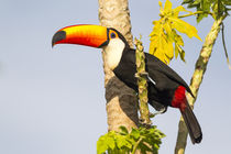 Brazil, Mato Grosso, The Pantanal, toco toucan, papaya tree, by Danita Delimont