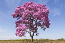 Brazil, Mato Grosso, The Pantanal, pink ipe tree by Danita Delimont