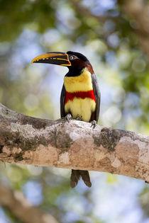 Brazil, Mato Grosso, The Pantanal, chestnut-eared Aracari, von Danita Delimont