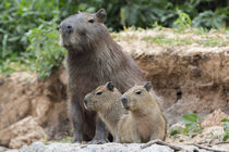 Brazil, Mato Grosso, The Pantanal, capybara, von Danita Delimont