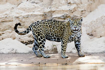 Brazil, Mato Grosso, The Pantanal, Cuiaba River, jaguar by Danita Delimont