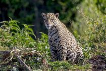Brazil, Mato Grosso, The Pantanal, Rio Cuiaba, jaguar von Danita Delimont