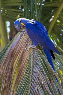 Brazil, Mato Grosso, The Pantanal, hyacinth macaw, by Danita Delimont