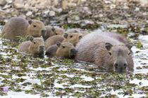 Brazil, Mato Grosso, The Pantanal, capybara, by Danita Delimont
