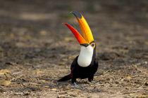 Brazil, Mato Grosso, The Pantanal, toco toucan von Danita Delimont