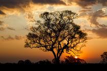 Brazil, Mato Grosso, The Pantanal, ipe tree, by Danita Delimont