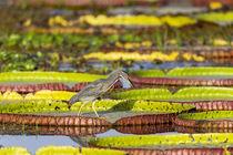 Brazil, Mato Grosso, The Pantanal, Porto Jofre, giant lily p... von Danita Delimont