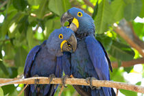Brazil, Mato Grosso, The Pantanal, hyacinth macaw by Danita Delimont