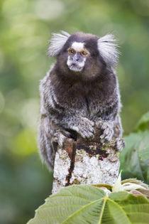 Brazil, Sao Paulo, Common marmosets in the trees. von Danita Delimont