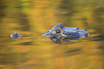 Brazil, Mato Grosso, The Pantanal, Black caiman in reflective water. von Danita Delimont