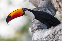 Brazil, Mato Grosso, The Pantanal, Toco toucan on a tree limb . by Danita Delimont