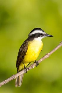 Brazil, Mato Grosso, The Pantanal, Lesser Kiskadee on a branch . von Danita Delimont