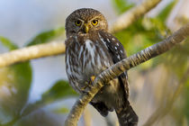 Brazil, Mato Grosso, The Pantanal, ferruginous pygmy owl in a tree. by Danita Delimont