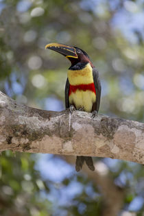Brazil, Mato Grosso, The Pantanal, chestnut-eared Aracari in a tree. by Danita Delimont