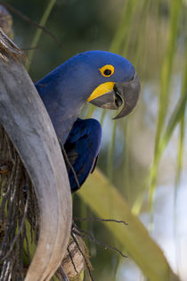 Brazil, Mato Grosso, The Pantanal, hyacinth macaw on palm branch. von Danita Delimont