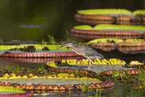Brazil, Mato Grosso, The Pantanal, Porto Jofre, giant lily p... by Danita Delimont