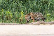 Brazil, Mato Grosso, The Pantanal, Rio Cuiaba, jaguar . von Danita Delimont