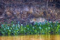 Brazil, Mato Grosso, The Pantanal Rio Cuiaba, jaguar, water hyacinth by Danita Delimont