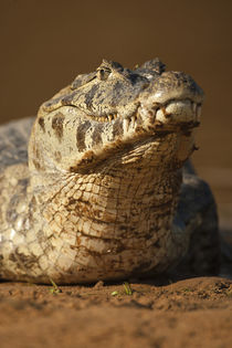 South America, Brazil, Pantanal, Spectacled Caiman, Caiman c... von Danita Delimont