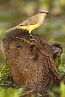 South America, Brazil, Pantanal, Cattle Tyrant, Machetornis ... by Danita Delimont
