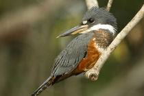 South America, Brazil, Pantanal, Ringed Kingfisher, Ceryle t... von Danita Delimont