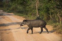 Brazilian Tapir, Northern Pantanal, Mato Grosso, Brazil von Danita Delimont