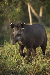 Brazilian Tapir, Northern Pantanal, Mato Grosso, Brazil by Danita Delimont