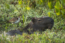 Capybara and Wattled Jacana juv, Northern Pantanal, Mato Gro... by Danita Delimont