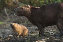 Capybara Northern Pantanal, Mato Grosso, Brazil von Danita Delimont