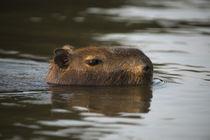 Capybara, Northern Pantanal, Mato Grosso, Brazil by Danita Delimont