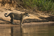 Jaguar female, Northern Pantanal, Mato Grosso, Brazil by Danita Delimont