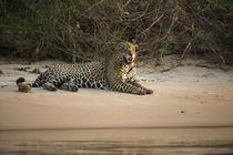 Jaguar male, Northern Pantanal, Mato Grosso, Brazil by Danita Delimont