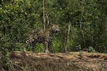 Jaguar male by Danita Delimont
