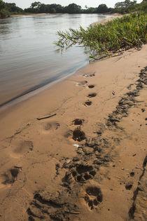 Jaguar tracks, Northern Pantanal, Mato Grosso, Brazil by Danita Delimont