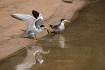 Large-billed Tern Northern Pantanal, Mato Grosso, Brazil by Danita Delimont