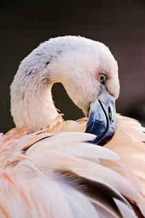 Phoenicopterus chilensis, immature Chilean Flamingo portrait. by Danita Delimont