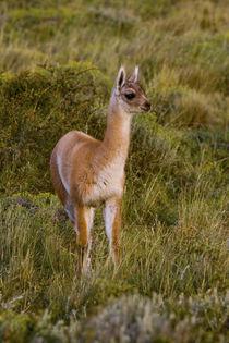 Guanaco Lama, Chile von Danita Delimont