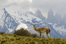 Guanaco with Paine Towers in background, Torres Del Paine Na... von Danita Delimont