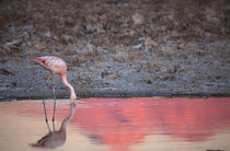 Chilean Flamingo Drinking by Danita Delimont