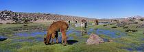 Alpakas im Altiplano Chiles by Danita Delimont
