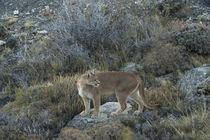Puma female von Danita Delimont