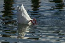 Coscoroba Swan von Danita Delimont