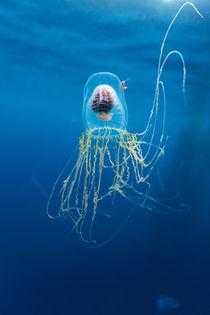 Jellyfish, Diego Ramirez Island, Chile von Danita Delimont