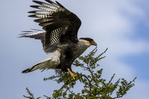 Flying Southern Crested Caracara by Danita Delimont