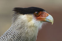 Portrait of Southern Crested Caracara von Danita Delimont